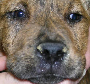 Canine influenza virus (CIV) is a rapidly emerging threat to dogs in ... Canine